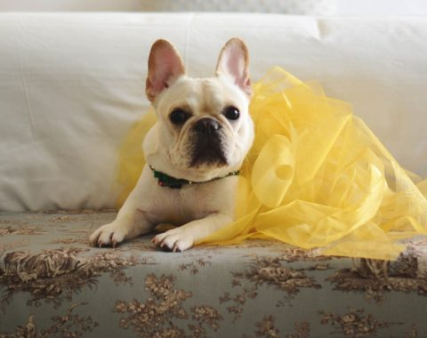 French bulldog in a yellow tutu laying on a bench at Windsor Court Hotel enjoying the hotel's Pampered Pets Program